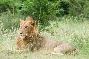 lion_kruger_national_park